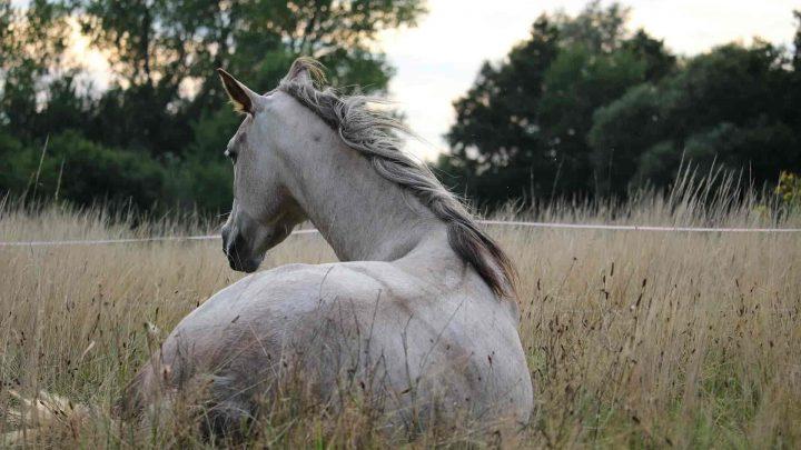 Colique du cheval : Symptômes, causes, traitement et prévention